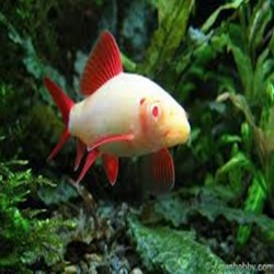 Lábio frenatus albino