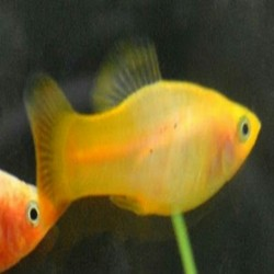 Platy Ouro