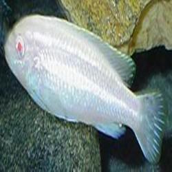 Auratus albino