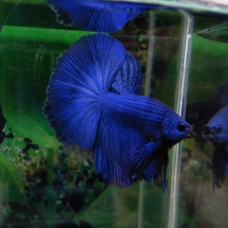 Betta Dragon azul