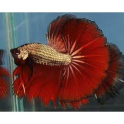 Betta Red Dragon