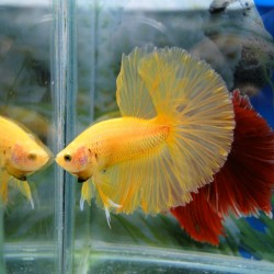 Betta Dragon yellow