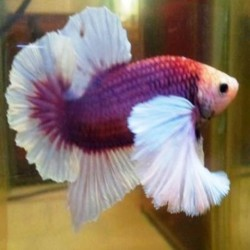 Betta Placat Dumbo
