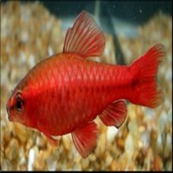 Barbo Sumatrano Red